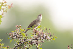 Het zingen vogel in onderzoek naar een partner royalty-vrije stock afbeelding