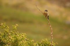 Het zingen vogel op een tak Stock Foto