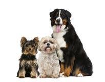 Het Zitten van drie Honden Royalty-vrije Stock Foto