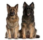 Het zitten van twee Duitse herders Stock Foto