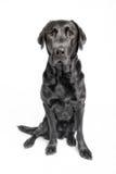 Het zitten van zwart Labrador in studio Royalty-vrije Stock Afbeeldingen