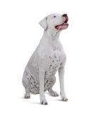 Het zitten Volwassen Dogo Argentino Geïsoleerd op wit Royalty-vrije Stock Foto