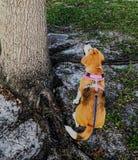 Het zoeken van een eekhoorn Stock Fotografie