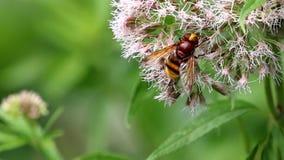 Het zoeken van Horzel mimische hoverfly op heilige kabel stock footage