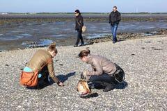 Het zoeken van planken op zandbank in het Wadden Overzees Royalty-vrije Stock Fotografie