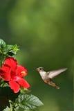 Het zoemen het Naderbij komen van de Vogel het Portret van de Bloem Stock Afbeelding