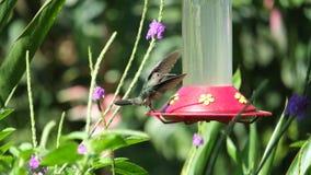 Het zoemen Vogel het Landen Stock Foto's