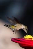 Het zoemen vogel het voeden Stock Afbeeldingen