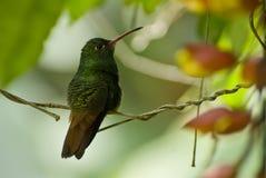 Het zoemen vogelzitting op tak Stock Fotografie