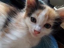 Het zoete en mooie babykatje keert terug Stock Afbeelding