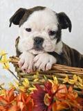 Het zoete Puppy van de Buldog royalty-vrije stock afbeeldingen