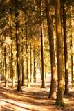 Het zonlicht doordringt door de boomstammen van bomen Royalty-vrije Stock Afbeelding