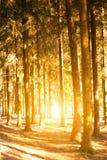 Het zonlicht doordringt door de boomstammen van bomen Royalty-vrije Stock Foto's