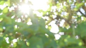 Het zonlicht glanst door de bladeren uit nadruk stock video