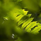 Het zonlicht glanst door tropische bladeren van monodoraboom Stock Foto