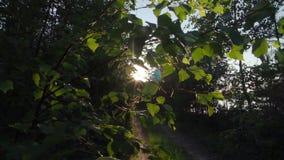 Het zonlicht komt door bladeren bij zonsondergang stock video