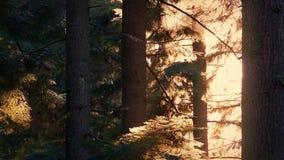 Het zonlicht steekt omhoog bomen op de zomeravond aan stock videobeelden