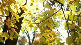 Het zonlicht van de herfstbladeren stock video