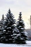 Het zonlicht van de de winterspar Royalty-vrije Stock Foto