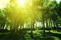 Het zonlicht werpt de boomstammen van een hout van de pijnboomboom Natuurlijke milieuachtergrond lege exemplaarruimte Stock Foto