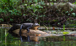 Het zonnebaden Amerikaanse Alligator op logboek, Okefenokee-Toevluchtsoord van het Moeras het Nationale Wild royalty-vrije stock fotografie