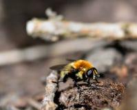 Het zonnebaden Dronfly Royalty-vrije Stock Afbeeldingen