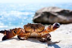 Het zonnebaden krab Royalty-vrije Stock Foto