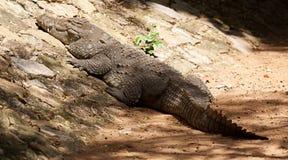 Het zonnebaden krokodil Royalty-vrije Stock Foto