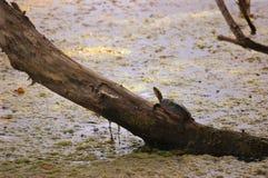 Het zonnebaden Oostelijke Geschilderde Schildpad Royalty-vrije Stock Fotografie