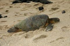 Het zonnebaden Overzeese Schildpad Stock Foto's
