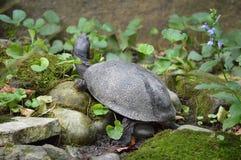 Het zonnebaden Schildpad Royalty-vrije Stock Fotografie