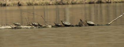 Het zonnebaden schildpadden Royalty-vrije Stock Foto