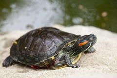 Het Zonnebaden van de schildpad Stock Foto's