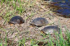 Het Zonnebaden van de Schildpadden van Blandings Royalty-vrije Stock Afbeeldingen