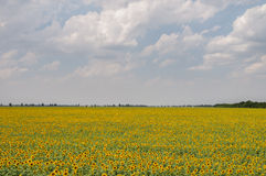 Het zonnebloemgebied met de hemel op de achtergrond Royalty-vrije Stock Afbeeldingen