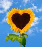 Het zonnebloemhoofd toont een hart-vorm Royalty-vrije Stock Foto's