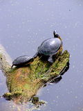 Het zonnen van Binnenland Geschilderde schildpadden Royalty-vrije Stock Foto's