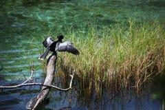 Het Zonnen van de Vogel van Anhinga en van de Schildpad Cooter Stock Afbeelding