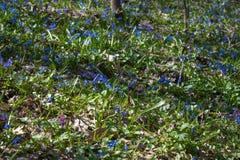 Het zonovergoten boshoogtepunt van sneeuwklokje bloeit in lentetijd - foto met uiterst vage achtergrond stock foto's