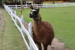 Het zoogdier van de lamaherkauwer Royalty-vrije Stock Foto