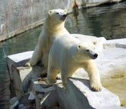 Het zoogdiernoordpoolgebied van de ijsbeer het polaire carnivoor royalty-vrije stock fotografie