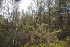 Het zoute Park van de Puntstaat is een park van de staat in Sonoma-Provincie, is Californië behandeld in bossen van Californische royalty-vrije stock afbeeldingen