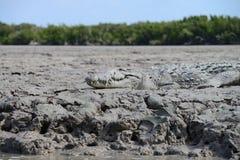 Het Zoutwaterkrokodil van Florida Royalty-vrije Stock Foto