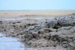 Het Zoutwaterkrokodil van Florida Royalty-vrije Stock Afbeeldingen