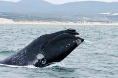 Het zuidelijke Juiste overtreden van de Walvis royalty-vrije stock fotografie