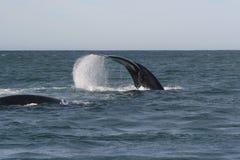 Het zuidelijke juiste walvis fluking Stock Foto's
