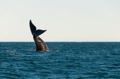 Het zuidelijke juiste walvis letten op stock foto's