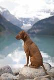 Het zuivere ras toont hond royalty-vrije stock foto's