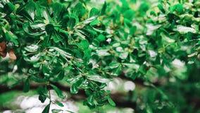 Het zuivere regenwater wordt gegoten op de verse bomenbladeren in de zomerbos stock footage