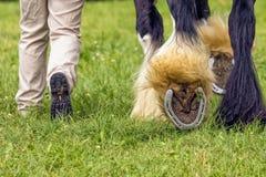 Het zware paard die zijn schoenen, Landelijke Hanbury tonen toont, Engeland stock afbeelding
